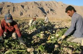 کشاورزان خرمشهر