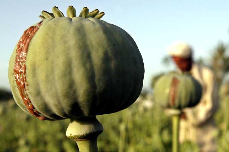 An opium poppy is seen in a field in eastern province of Ningarhar April 9, 2007. REUTERS/Ahmad Masood (AFGHANISTAN)